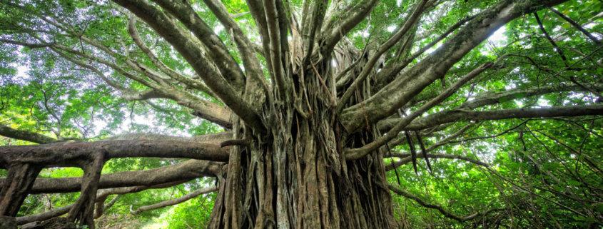 Bodhi Baum Ficus Feige