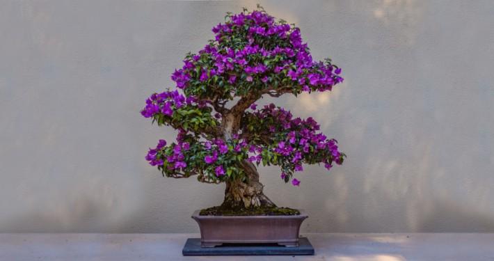 Baum Bonsai Blüten