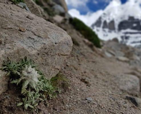 Himakamal - Schneelotus weiß